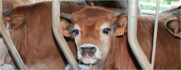 Crotal colocado en vaca