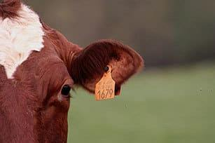 como identificar ganado