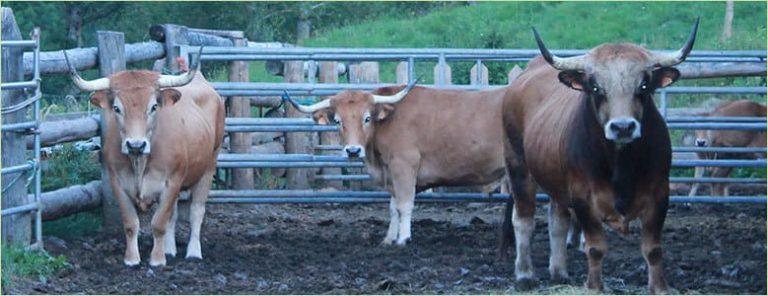 Vaca y buey juntos